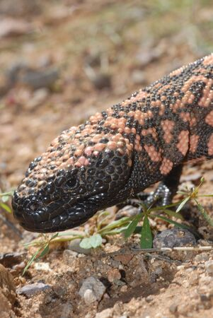 A macro image of a gila monsters head. Stock Photo