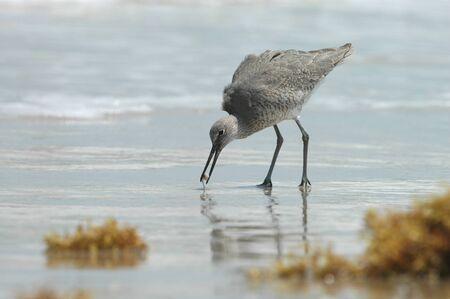A willet bird feeds on an aquatic snail found on the beach. Stock Photo