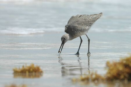 A willet bird feeds on an aquatic snail found on the beach. Stock Photo