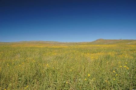 A mustard field with a dark blue sky in North Dakota. Stock Photo