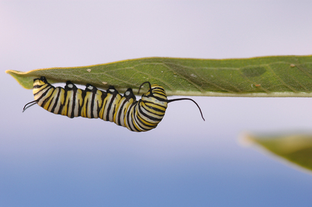 a monarch caterpillar is hanging upside down on a leaf while feeding.
