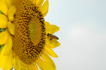 A honey bee prepares to land on a sunflower to gather pollen. photo