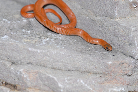 unusually: This sonoran ground snake is displaying unusually bright orange coloration.