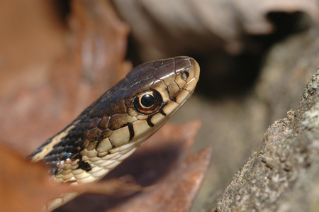 A macro image of the head of an eastern garter snake. Stock Photo