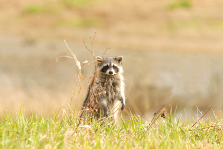 A cute raccoon stands up and looks around the wildlife refuge. Stock Photo - 1483565