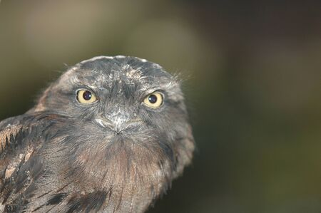An australian tawny frogmouth bird against a natural green background. Stock Photo
