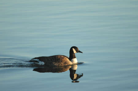 canadensis: A Canada goose swims alone on a quiet lake early in the morning. Stock Photo