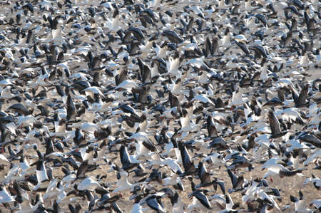 chaos: Snow geese take off from the refuge waters in great numbers.