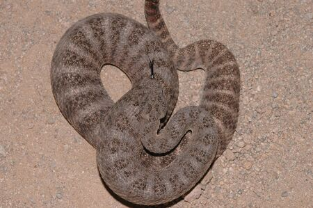A tiger rattlesnake from Arizona photographed from the top view. photo
