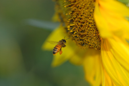 A honey bee is on course to land on a bright yellow sunflower.