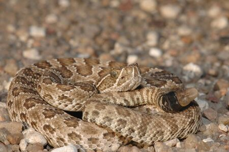 A  prairie rattlesnake photographed in western Kansas on a gravel road.