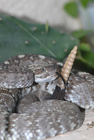 A west Texas black-tailed rattlesnake seems to be showing off the size of his rattle.