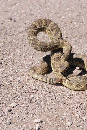 This Mojave rattlesnake appears to be quite angry.