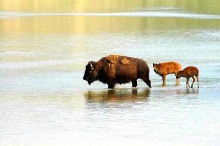 A  of American bison cross a shallow North Dakota river.
