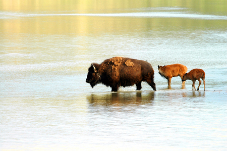 A  of American bison cross a shallow North Dakota river.