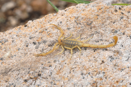 A scorpion photographed in the mountains of southern Arizona. 版權商用圖片
