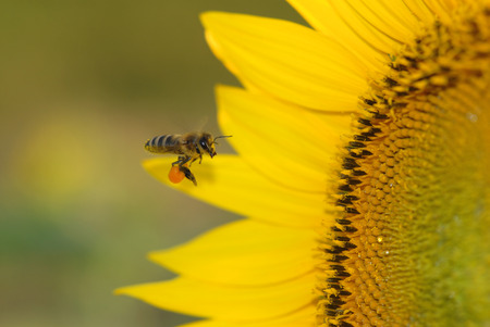 A honey bee approaches a sunflower already carrying a full load of pollen. photo
