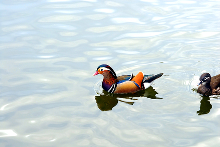 A pair of mandarin ducks swimming on very light colored water. photo