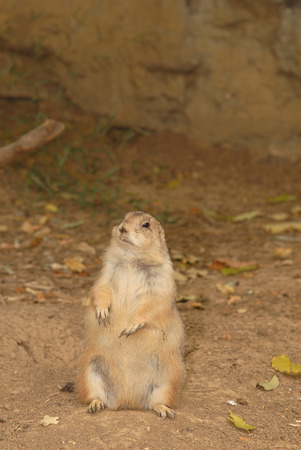 rear end: A chunky prairie dog sits back on his rear end.