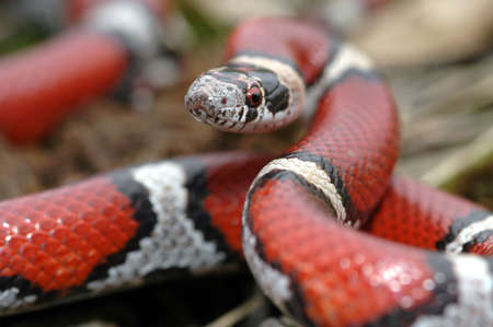 This beautiful red milksnake appears to be ready to strike at the camera.