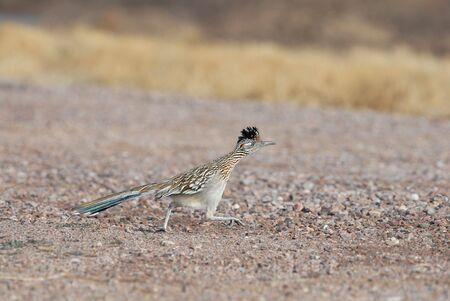 The greater road runner is the state bird of New Mexico.