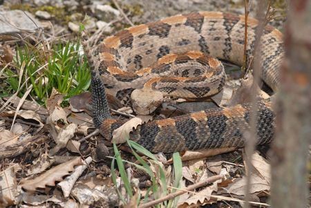 This large timber rattlesnake was photographed in Jackson County, Missouri. 스톡 콘텐츠