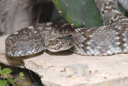 herpetology: This black-tailed rattlesnake was photographed in the west Texas desert. Stock Photo