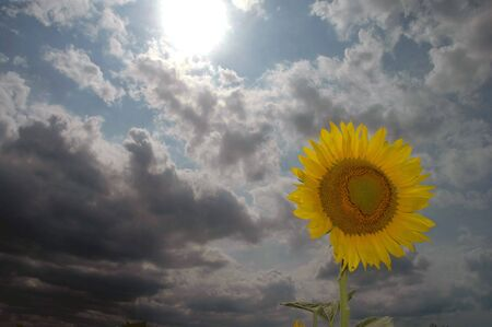 A sunflower in the foreground of a cloudy dark day. Stock Photo