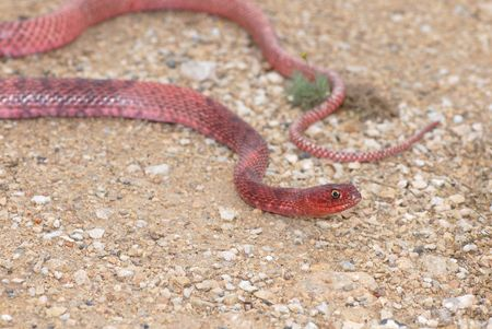 A bright red coachwhip snake from western Texas. Stock Photo - 1954233