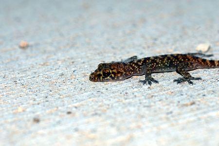 introduced: El Mediterr�neo es un gecko las especies introducidas en Arizona.