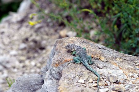 herpetology: This photograph of an eastern collard lizard also displays its habitat in western Missouri where it was photographed.