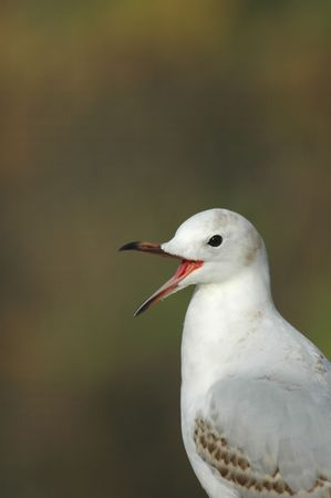 appears: This seagull appears to be laughing at something.