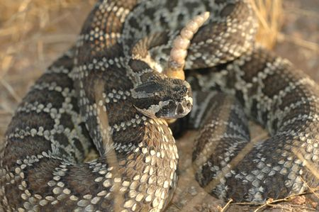 The southern pacific rattlesnake is one of Californias most comon rattlesnakes. photo