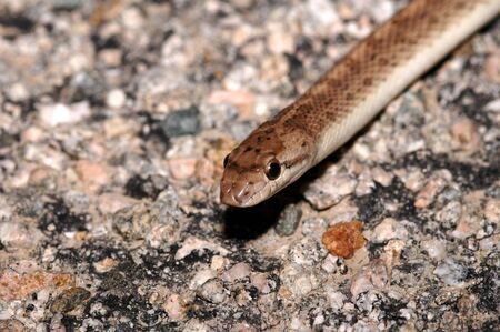 colubridae: This California glossy snake was photographed in the Mojave desert. Stock Photo