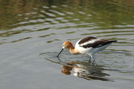 The American Avocet is a species of concern in much of its historical range.