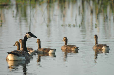 A  of Canadian geese swim and forage on the quiet waters within the wetland refuge. photo