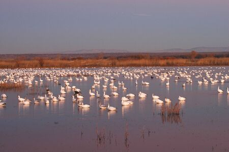 Arctic snow geese begin the nightly fly in to roost on the water.