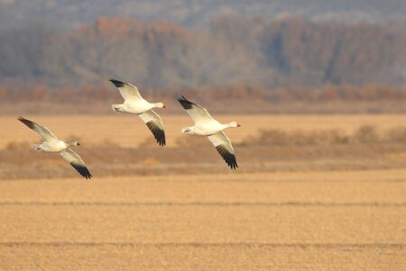 Three snow geese fly into a crop field to feed during the day.