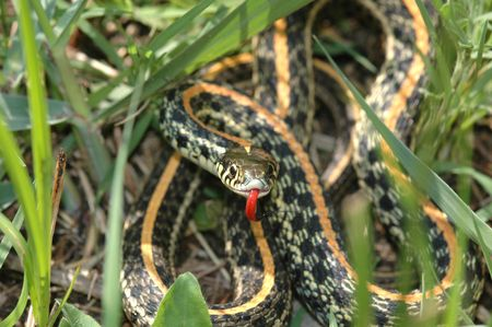 herpetology: This western plains garter snake was photographed in central Kansas.