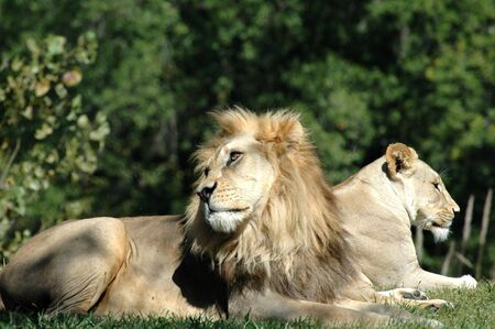 A male and female pair of African lions lie next to each other late in the afternoon.