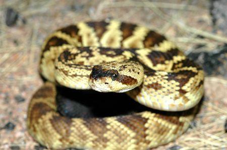 Esta hermosa imagen de un negro de cola serpiente de cascabel se tom� en las monta�as de Arizona.  Foto de archivo - 2374383