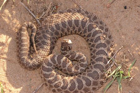 This massasauga rattlesnake was photographed in central Kansas.