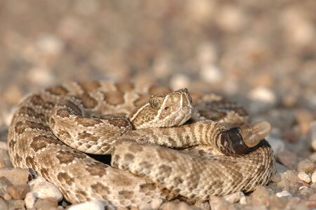 This small prairie rattlesnake was found crossing a gravel road between two crop fields.