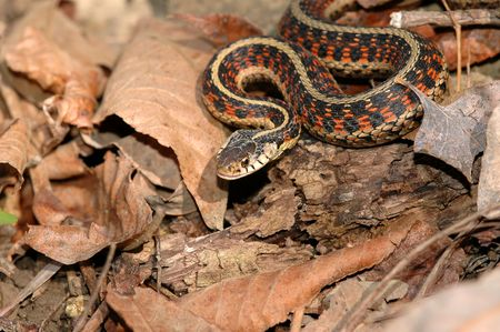 This red sided garter snake was photographed late in fall before the snakes begin to brumate.