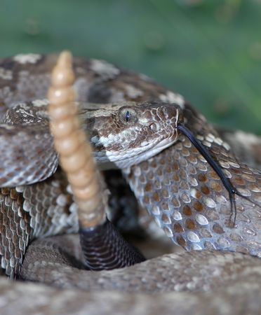 aggravated: This black-tailed rattlesnake was rattling its tail while it was being photographed. Stock Photo