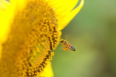 A small honey is flying into a large sunflower with an already large load of pollen on its legs.
