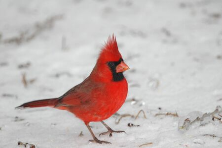 A bright red male cardinal stands out against the snow and ice cover background.