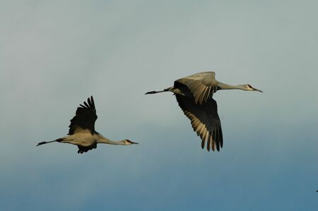 Two sandhill cranes fly across a light blue sky.