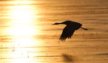 sandhill crane: The silhouette of a single sandhill crane in the golden light of an icy winter morning.