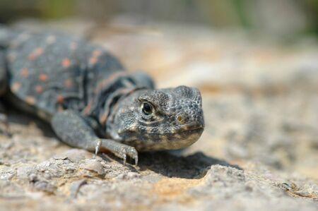 lizard in field: Una imagen un poco lindo con Collard lagarto limitada profundidad de campo se centran.